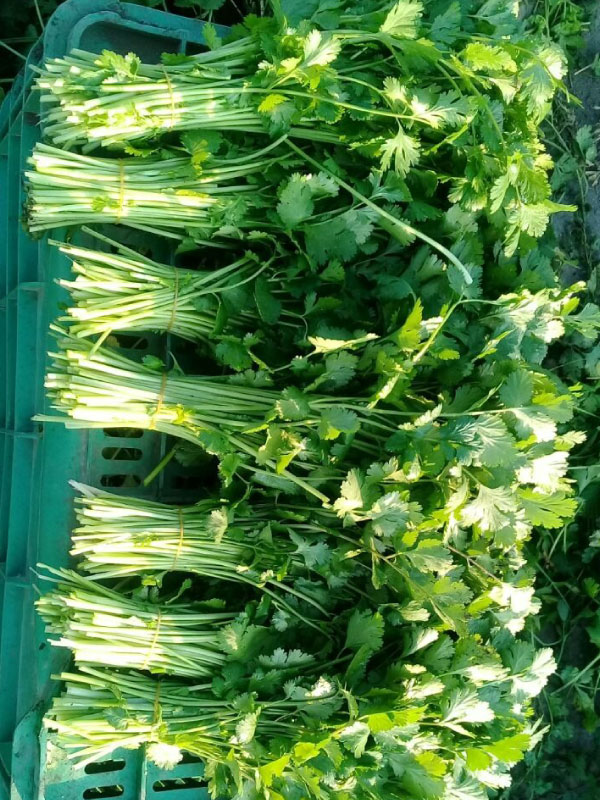 Bunches of Quality Cilantro