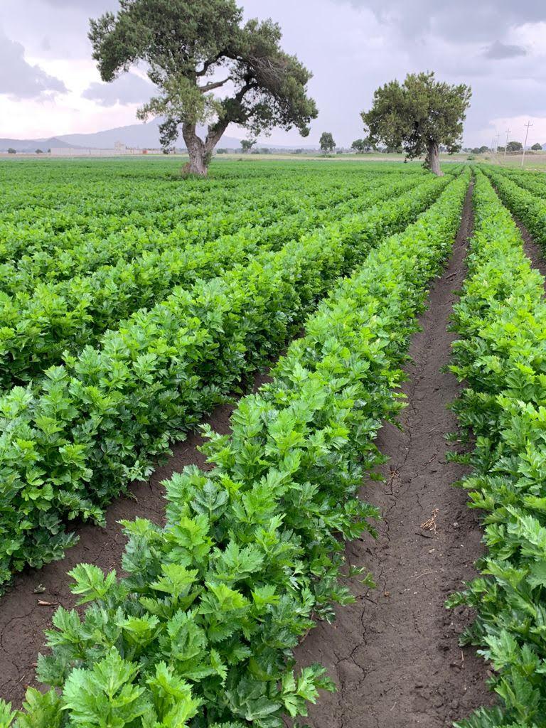 RJ Produce Celery Field